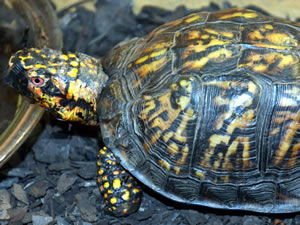A box turtle at the Greensboro Science Center.
