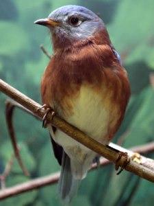 Finn: An Eastern Bluebird