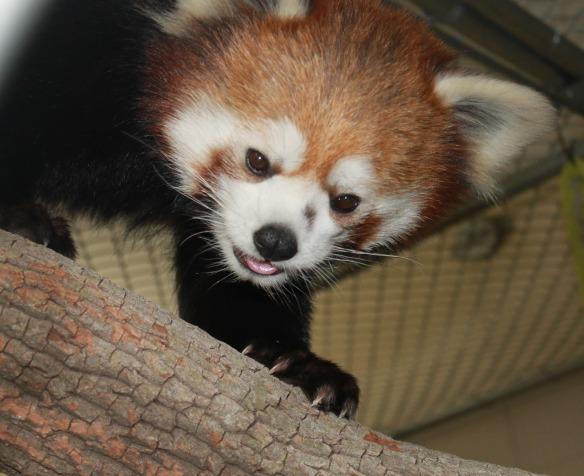 Red Panda, Taiji