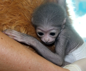Baby Gibbon Duke - nearly 1 month old