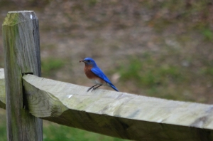 Bluebird with Bug
