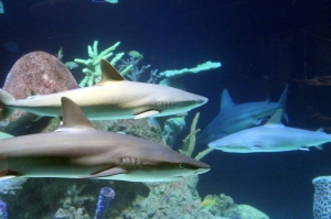 Blacknose Sharks