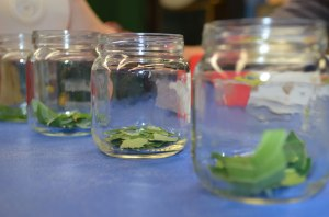 Procedure: Place Torn Leaves in Individual Jars