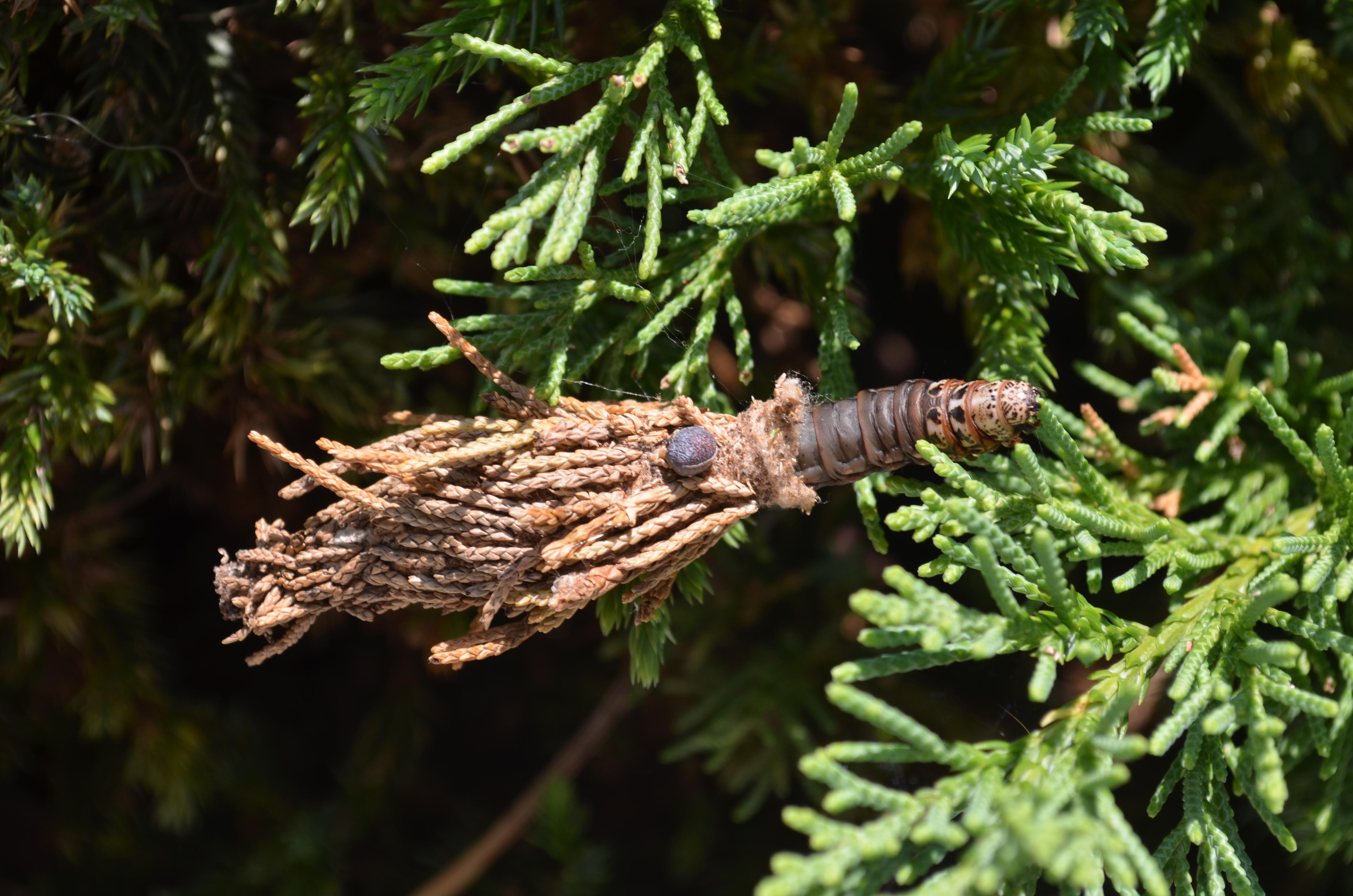bagworm moths greensboro science center. Black Bedroom Furniture Sets. Home Design Ideas