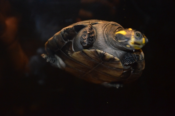 Yellow Spotted River Turtle in the Carolina SciQuarium