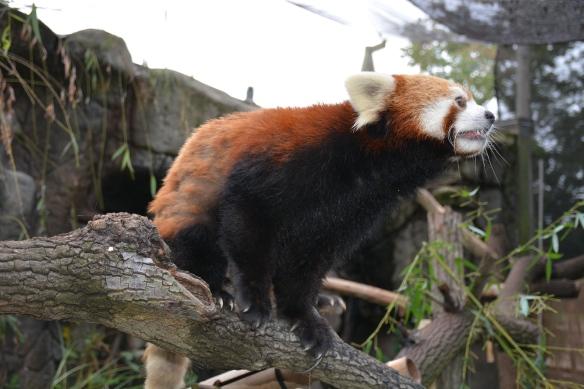 Red Panda Balancing Act