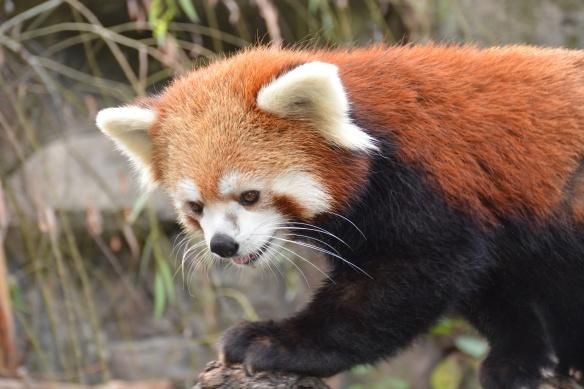 Red Panda Facial Markings