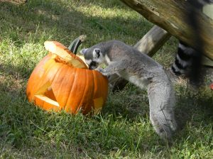 Lemur Enjoy Pumpkin Treat