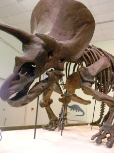 Triceratops in the Dinosaur Gallery