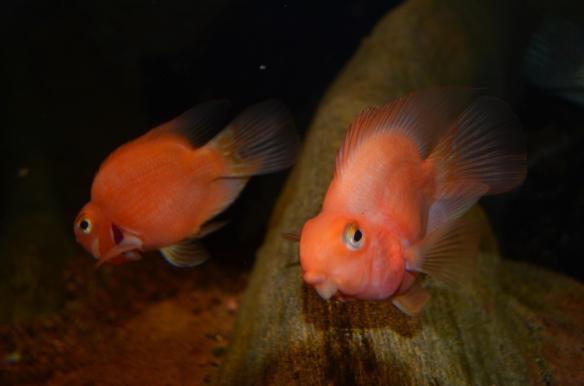 Fish in Amazon Edge