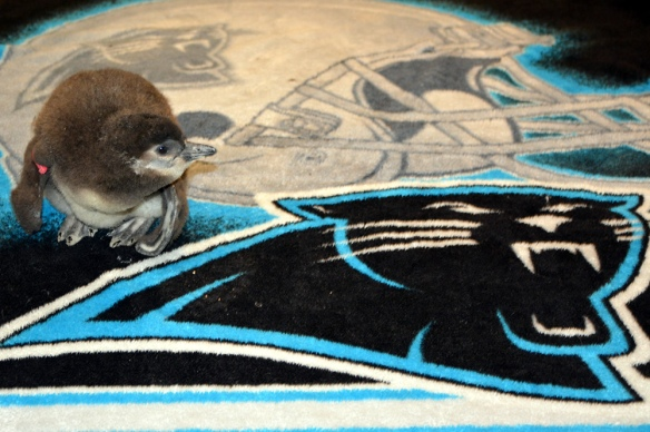 Kuechly On Her Panthers Blanket