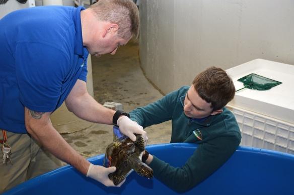 Aquarist & veterinarian examine sea turtles