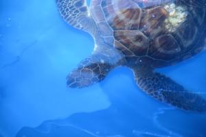 Sea turtle swimming