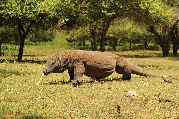 Adult Komodo on Komodo Island