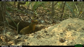 Agouti using the Giant Armadillo burrow (Small)