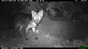 Crab eating fox in front of Giant Armadillo burrow (Small)