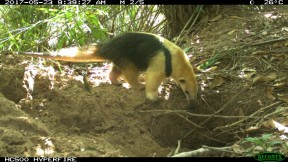Lesser anteater using the Giant Armadillo burrow (Small)