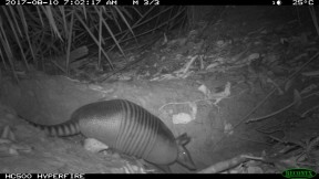 Nine banded armadillo using Giant Armadillo burrow (Small)