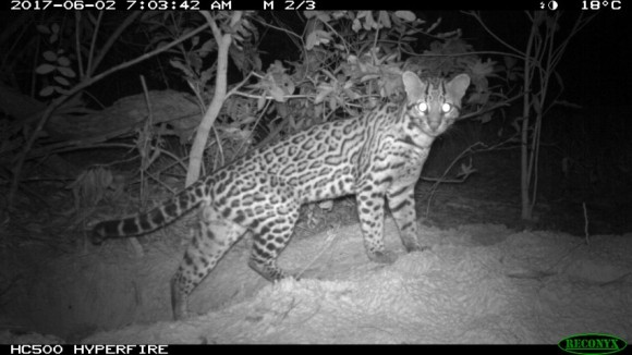 Ocelot leaving the Giant Armadillo burrow (Small)