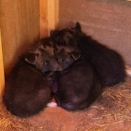 maned-wolf-puppy-0