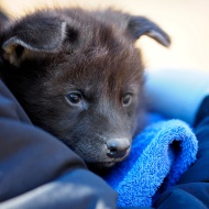 maned-wolf-puppy-2