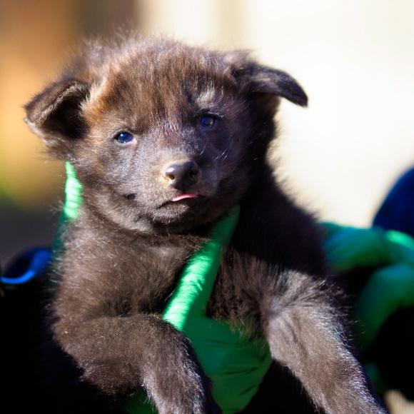maned-wolf-puppy-3