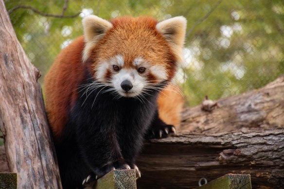 Usha Red Panda DSC_5036
