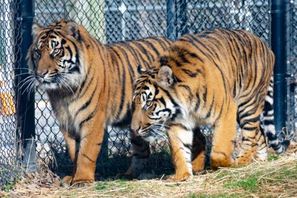 Tiger-Debut