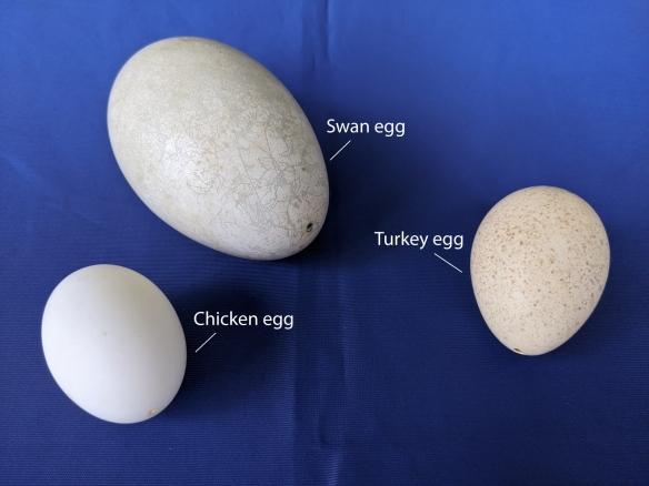 Eggs-Chicken-Turkey-Swan